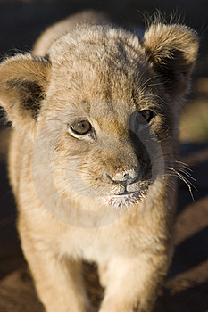 Lion Stare Stock Photos - Image: 9864373