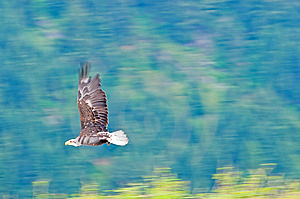 Bald Eagle In Flight Royalty Free Stock Images - Image: 9871589