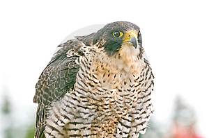 Falcon Stock Photo - Image: 9877990