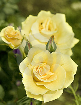 Yellow Pastell Coloured Rose. Stock Photography - Image: 9882662