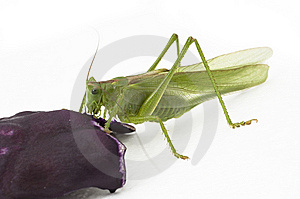 Locust Eating Stock Images - Image: 9884414