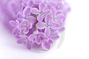 Fragrant Lilac Blossoms Royalty Free Stock Photography - Image: 9896927