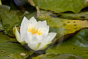 White Pond Lily Royalty Free Stock Photos - Image: 9897888