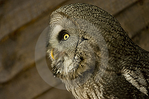 Side View Of Owl Stock Photo - Image: 9897930