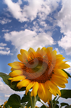 Nice Sunflower Royalty Free Stock Photo - Image: 990335