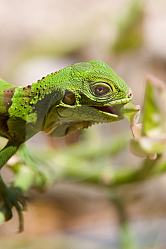 Baby Iguana Eating Royalty Free Stock Photos - Image: 9900238
