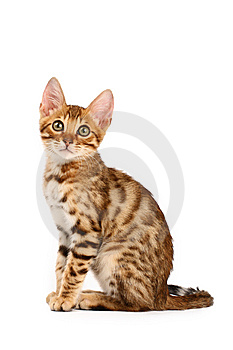 Bengal Kitten Stock Photography - Image: 9903372
