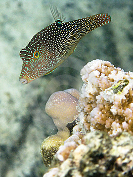 Indo-West Pacific Pufferfish Stock Photos - Image: 9904783