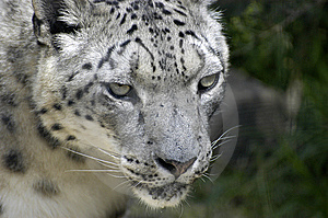 Snow Leopard Free Stock Photography