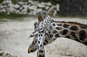 Family Of Giraffes Stock Images - Image: 9910184