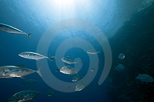 Ocean, Sun And Yellow-dotted Trevally Royalty Free Stock Photo - Image: 9913675