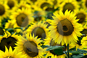 Yellow Sunflowers Stock Photo - Image: 9913700