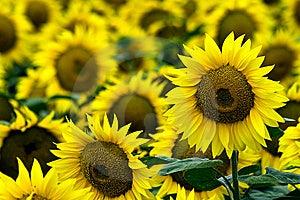 Yellow Sunflowers Stock Photo - Image: 9913700