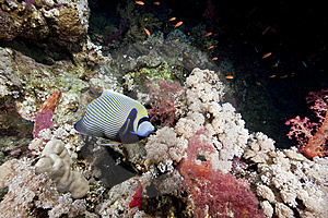 Ocean And Emperor Angelfish Stock Images - Image: 9913894
