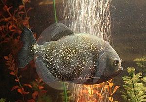 Peixe-piranha Fotografia de Stock - Imagem: 9925812