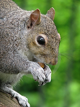 Squirrel Royalty Free Stock Images - Image: 9926259