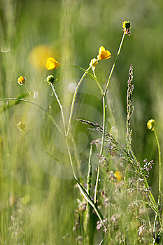 Buttercup In The Field. Stock Image - Image: 9926641