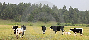 Cows Royalty Free Stock Photos - Image: 9930418