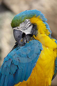 Blue And Gold Macaw Royalty Free Stock Image - Image: 9935586