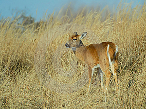 Doe In High Grass Royalty Free Stock Photo - Image: 9935595