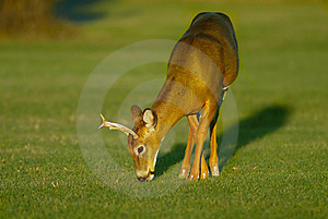 Buck Feeding  On Grass Royalty Free Stock Image - Image: 9935596