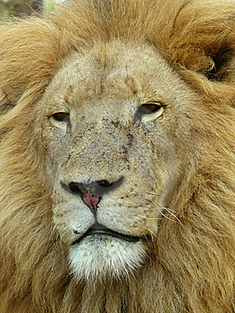 Lion 1 Royalty Free Stock Photo - Image: 9947545