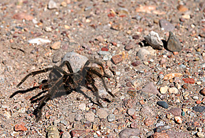 Patagonian Spider Royalty Free Stock Photos - Image: 9947818