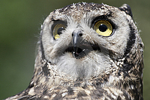 Spotted Eagle-owl Bubo Africanus Stock Photos - Image: 9949693