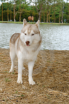 Husky Stand Stock Photography - Image: 9955882