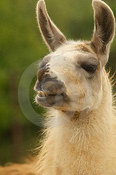 Stirra För Llama Arkivfoto - Bild: 9958580