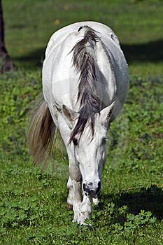 A White Horse Grazing In Clover Stock Image - Image: 9959441