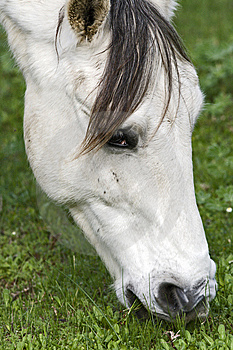 A White Horse Grazing In Clover Royalty Free Stock Image - Image: 9959566