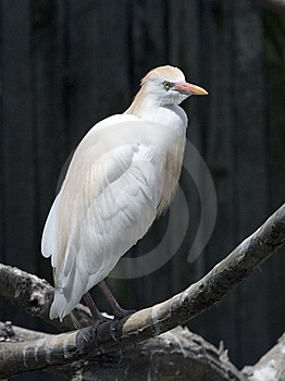 A Cattle Egret Bubulcus Ibis Stock Photography - Image: 9960462