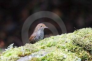 Formosan Pygmy Wren Babbler Stock Image - Image: 9961261