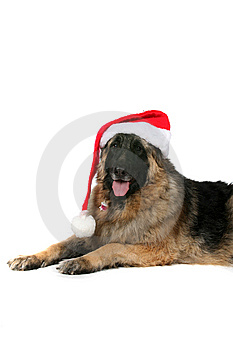 Big Black And Tan Dog With Santa Hat On Royalty Free Stock Photo - Image: 9965505