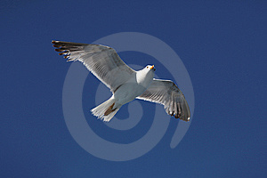 Seagull14 Royalty Free Stock Images - Image: 9966319