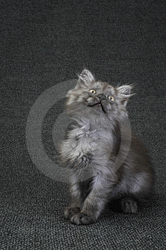 Small Kitty Royalty Free Stock Images - Image: 9968099