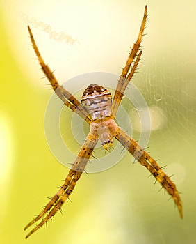Lynx Spider With Spikey Legs Stock Image - Image: 9976601