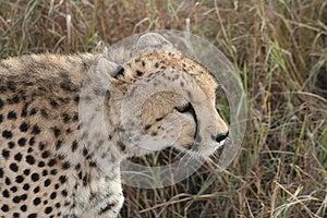 Cheetah Stock Image - Image: 9979161
