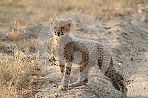 Cheetah Cub Stock Image - Image: 9979231
