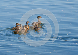 Ducks Royalty Free Stock Photo - Image: 9984175