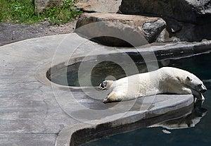 Sleeping Polar Bear Royalty Free Stock Photos - Image: 9985668