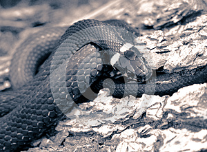 Grass-snake Close-up Toned Stock Image - Image: 9986601