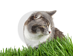 Furry Grey Cat In The Grass Stock Photo - Image: 9988040
