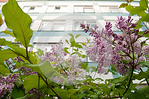 A Wall With Windows Over Buhch Of Lilac Royalty Free Stock Photos - Image: 9988248