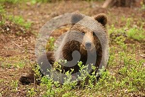 Cute Little Brown Bear Sitting Behind Bush Stock Photo - Image: 9990370