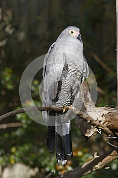 Pale Chanting Goshawk Royalty Free Stock Image - Image: 9990806