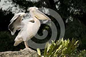 Pelican Spreading Its Wings Stock Photo - Image: 9990910