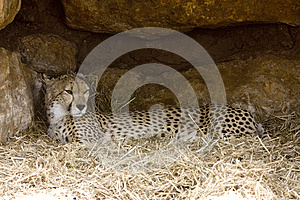Cheetah Resting Royalty Free Stock Image - Image: 9993666