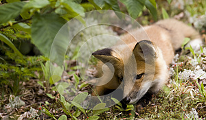 Mammal  Red Fox A Royalty Free Stock Image - Image: 9994186